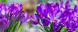 Leinwandbild Motiv Crocus vernus - spring flowers close up in the detail