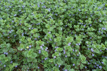 Lots Of Small Violet Flowers Of Glechoma Hederacea In Spring