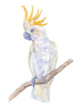 Parrot Cockatoo. Watercolor Illustration.