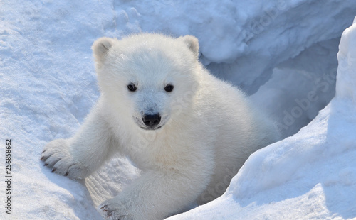 Photo sur Toile Ours Blanc polar bear in snow