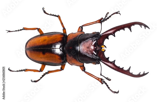 Slika na platnu Lucanus cervus stag beetle isolated on white