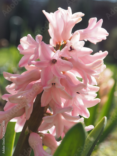 Fotografiet  Pink hyacinth in the park