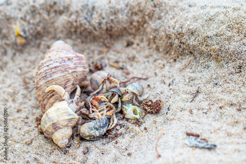 Fotografía The group of colorful hermit crabs with shell on the sandy beach in the sunny day
