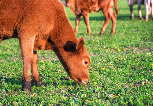 Photo  young bull on the pasture