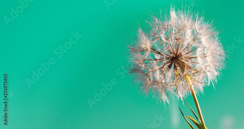 Fotografie, Obraz  big dandelion on a green background