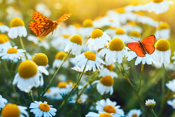 Fototapeta Motyle different beautiful butterflies fluttering and sitting on a bright meadow on a gentle Bellamy flowers daisies on a Sunny summer day