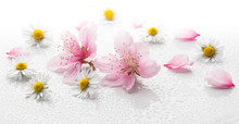 Peach Blossom And Daisies On A White Background With Water Drops