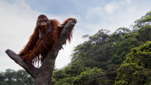 A Bornean Orangutan, Pongo Pygmaeus, Climbed Up To The Top Of The Tree With Blue Sky