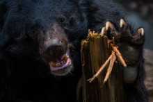 Closeup To Face Of Adult Formosa Black Bear Holding Wooden Stick With The Claws.