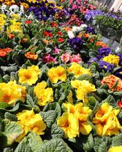 Yellow Primrose In Hte Florist Shop In Spring