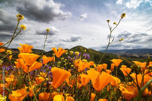 Foto op Canvas Poppy Poppy Fields