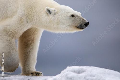 Ours Blanc Polar Bear