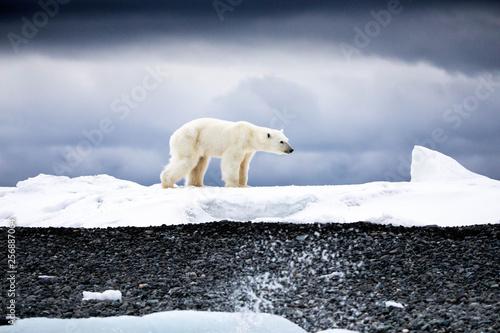 Foto op Plexiglas Ijsbeer Walking Polar Bear