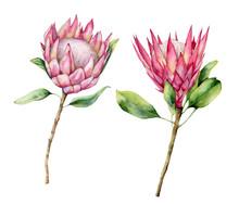 Watercolor Two Protea Set. Han...