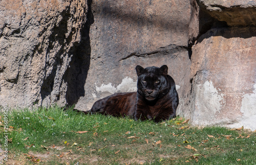 In de dag Panter VALENCIA, SPAIN - FEBRUARY 26 : Black Leopard at the Bioparc in Valencia Spain on February 26, 2019