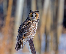 Long-eared Owl Perching