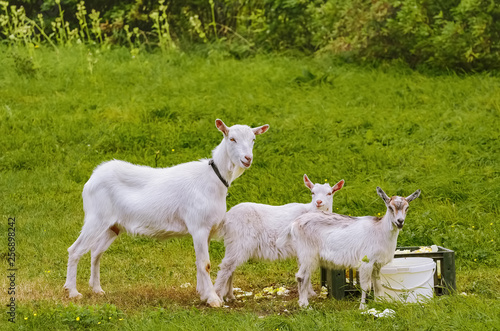 Goat with goatlings Canvas Print