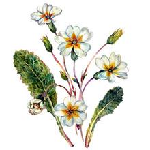 Watercolor Primrose Composition