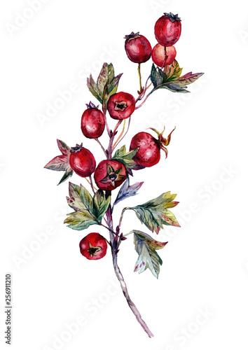 Fotografie, Obraz Watercolor Hawthorn Branch