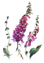 Watercolor Foxglove Composition
