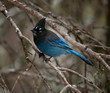 A Stellar's Jay looks alert on a cold winter day