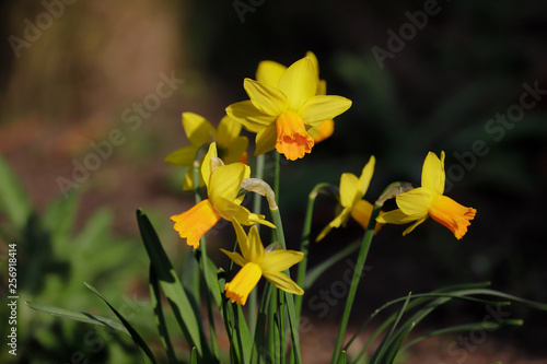 Stampa su Tela Close-up of yellow narcissus flower in the spring garden
