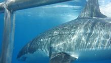 Cage Diving Avec Les Grands Requins Blanc Australiens