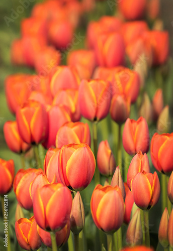 Photo  orange tulip blooms pacific northwest