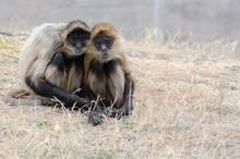 Geoffroy's Black-Handed Spider Monkey Couple Stare