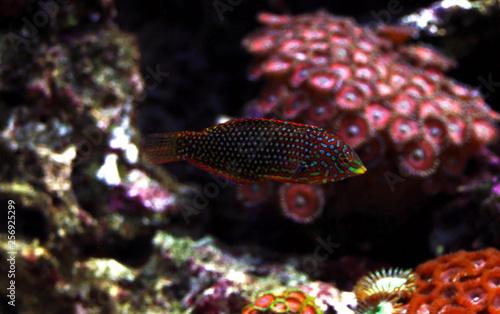 Ornate Leopard wrasse fish in coral reef aquarium tank - Buy