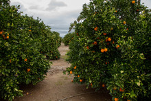 Citrus Groves Featuring Orange...