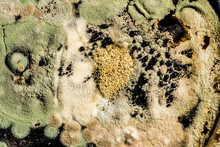 Green Mold Formation In A Petri Dish, Abstract Microbiological Texture
