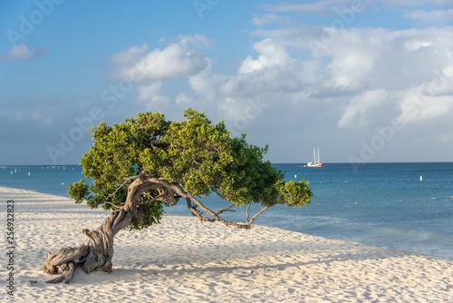 Photo  Divi Divi tree on the island of Aruba. Netherlands Antilles