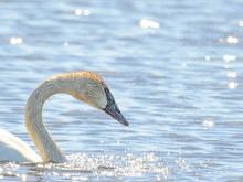 Trumpeter Swan Shaking Head An...