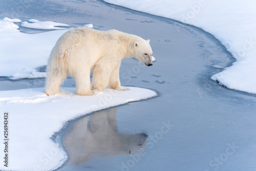 Obraz na płótnie Polar Bear with reflection in thin ice at the ice edge