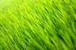 Leinwanddruck Bild - drop onrice sprout