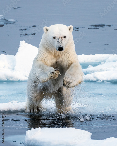 Fotografie, Obraz Polar Bear leaping a gap in the ice, head on close up, mid-air