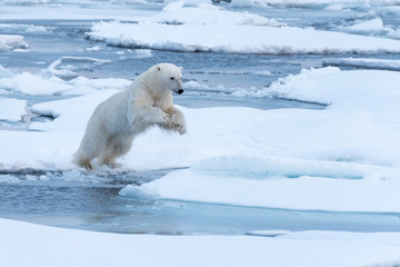 POlar Bear jumping a gap in the sea ice