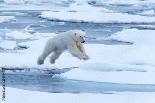 Foto op Plexiglas Ijsbeer POlar Bear jumping a gap in the sea ice