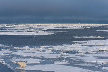 Polar Bear In Context In Environment On A Vast Expanse Of Sea Ice