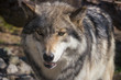 Wolf head closeup
