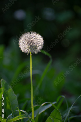 Photo  Dandelion with Green Garden Background with soft focus and green bokeh