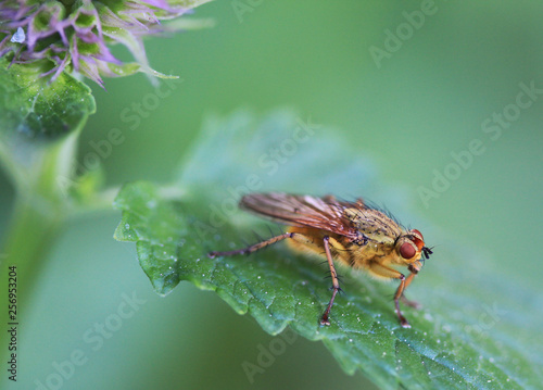 Fotografie, Obraz  Yellow dung fly on giant hyssop