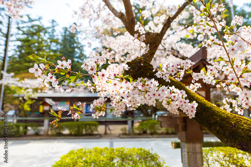 Poster Jaune 桜と神社