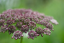 Tiny Purple Fuchsia Flowers To...