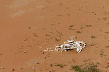 A Camel Skeleton Carcass In The Desert Sand.