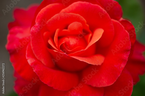 A closeup shot of a red colored rose blooming in fractal design