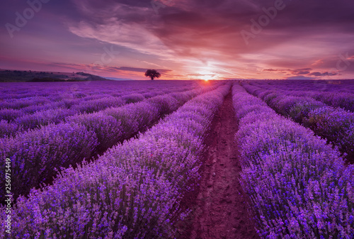 Prune Lavender fields. Beautiful image of lavender field. Summer sunset landscape, contrasting colors. Dark clouds, dramatic sunset.