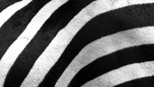 Close Up Of Zebra Stripes