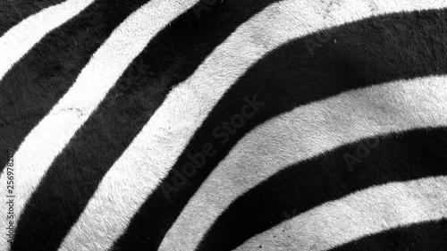 Fototapeta Close up of zebra stripes obraz